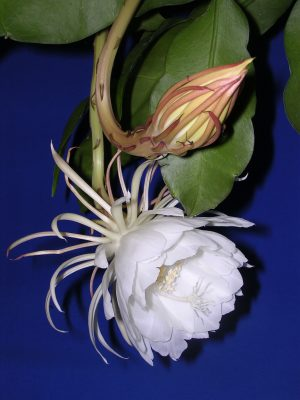 Flower of Epiphyllum oxypetalum (queen of the night). Image via Flickr by MAK, Wing Kuen. CC BY-SA 3.0.
