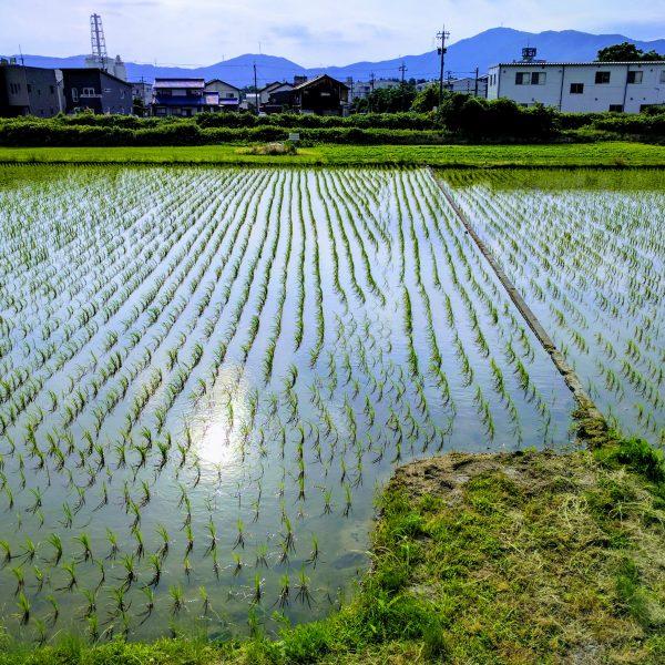 Suburban rice plot in May. Showa-cho, Tsuruga