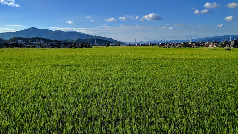 Rice fields in late July