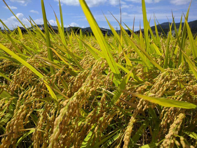 Ripening koshihikari rice in early September in Japan